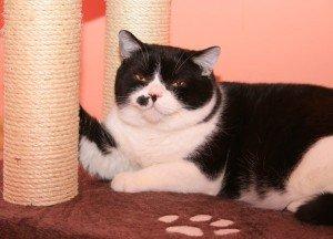 Британский кот Фома