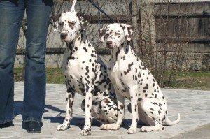 Племенная пара далматинов