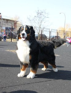 Image for post Bernese, born in Switzerland