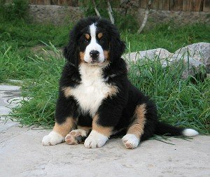 Image for post 'Bernese – my choice!'