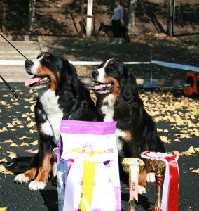 Image for post Our Bernese Show girls