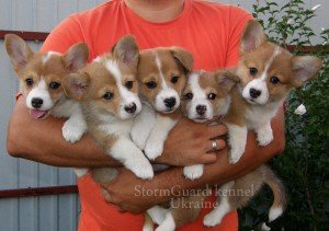 Image for post 'How to choose your Corgi puppy'